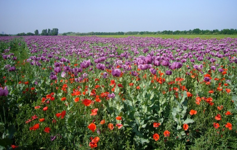 poppy-field-field-of-poppies-flower-mohngewaechs